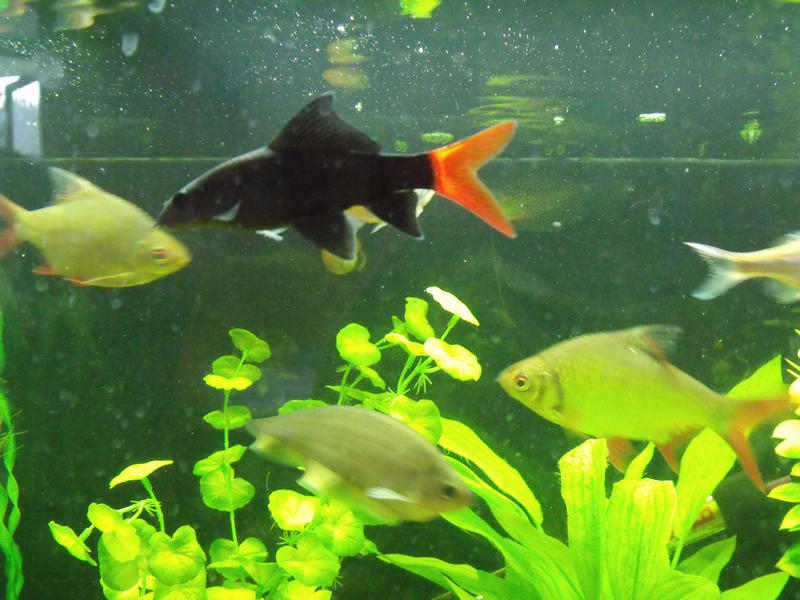 Pangasius medium hi fin pleco giant danios and tinfoil for Giant danio fish