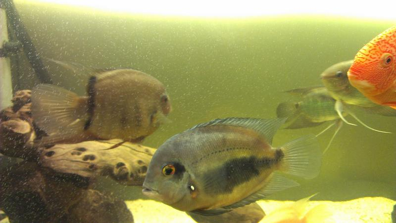 my 5ft central american cichlid tank