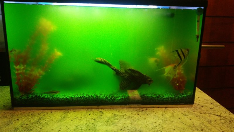 Algae bloom tropical aquariums sa for Algae bloom in fish tank