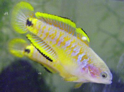 Ikan rainbow peacock